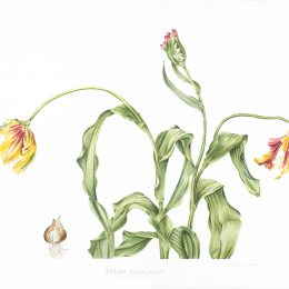 Tulipa flaming parrot_71x50