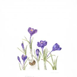 Crocus-sp_71x50