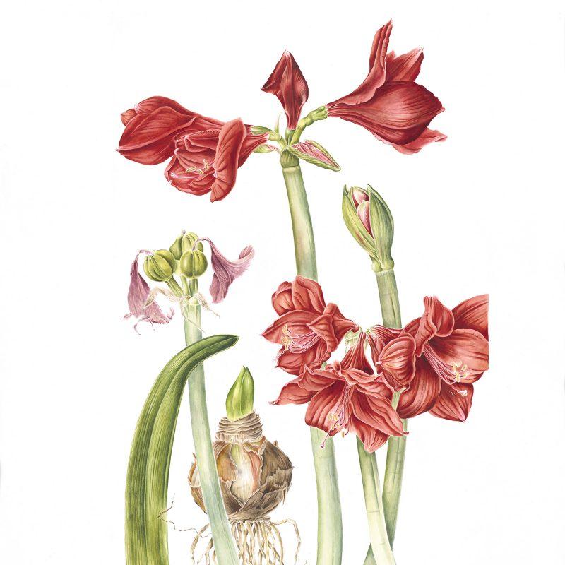 Hippeastrum-cultivar_71x50