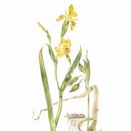 Iris-pseudacorus_71x50