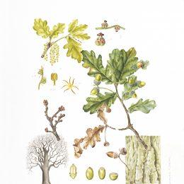 Quercus-robur_36x50