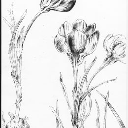 crocusinkstudy_0001