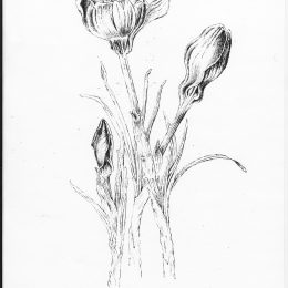 crocusinkstudy_0002