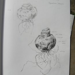 sketch Hippeastrum bulb