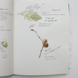 sketchbook_Quercus_robur_1_
