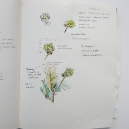sketchbook_Quercus_robur_3_